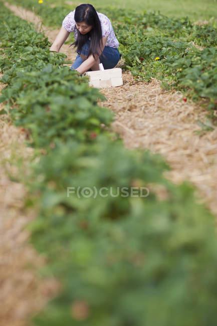 Giovane donna giapponese che raccoglie fragole fresche nel campo di fragole di giorno, Baviera, Germania , — Foto stock