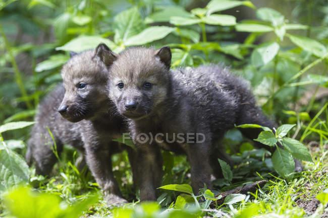 Cuccioli di lupo grigio su radura verde — Foto stock