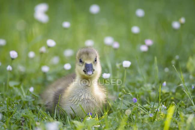 Canada Goose poussin — Photo de stock
