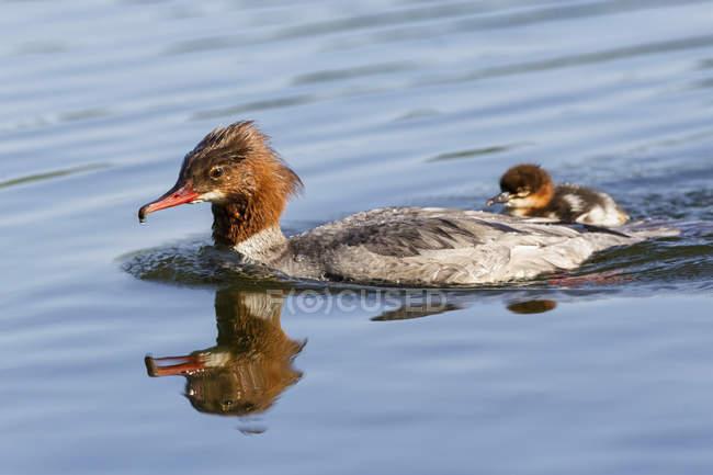 Harle Bièvre flottant avec les poussins à l'eau avec reflet — Photo de stock