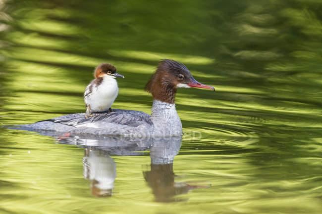 Harle Bièvre flottant avec Nana sur le dos dans l'eau — Photo de stock