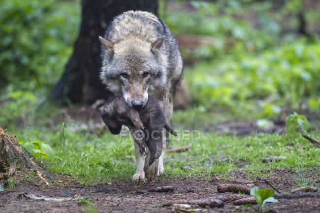 Сірий вовк проводить її цуценя — стокове фото