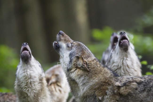 Urlando lupi grigi — Foto stock