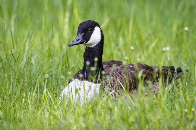 Canada Goose, assis sur une prairie fleurie — Photo de stock