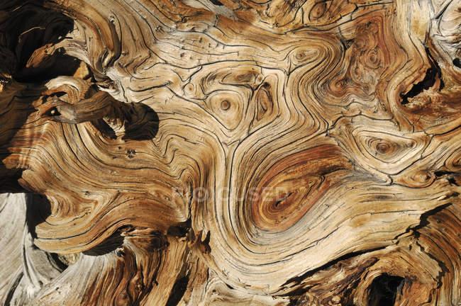 USA, Nevada, Weathered wood of Bristlecone Pine, close up — Stock Photo