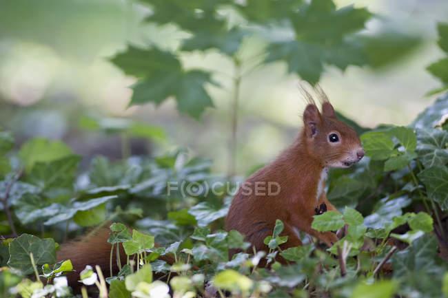 Красные белки, сидя на траве в лесу — стоковое фото