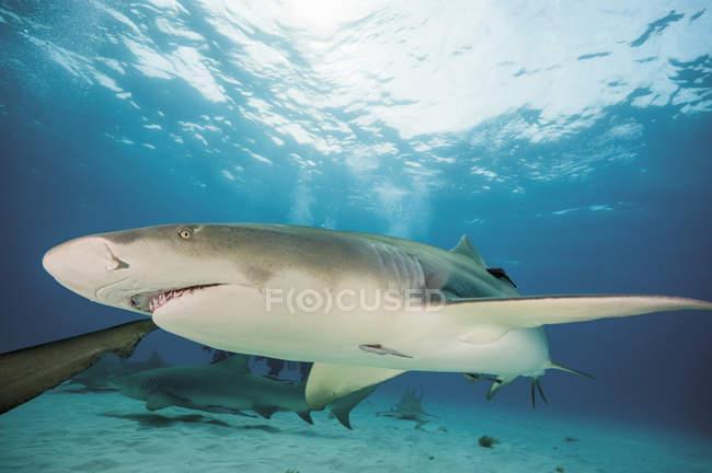 Акулы Атлантики лимон на берегу Багама — стоковое фото