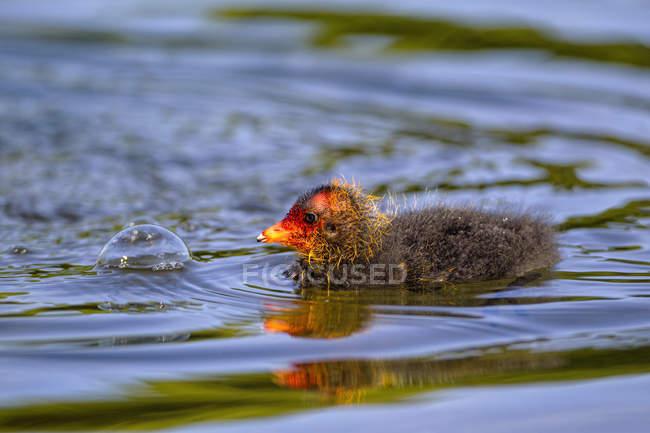Primo piano del pulcino di folaga eurasiatica in acqua — Foto stock
