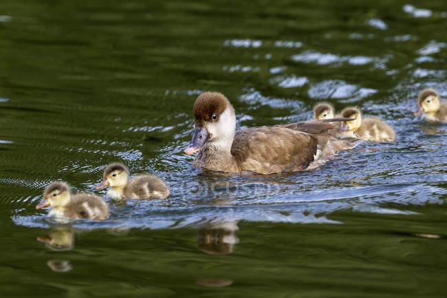 Nette rousse avec les poussins flottant dans l'eau — Photo de stock