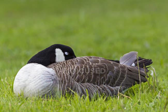Bernache du Canada sur l'herbe — Photo de stock