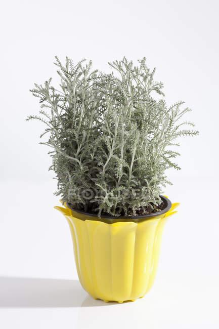 Pianta in vaso santolina grigia su sfondo bianco — Foto stock