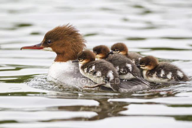 Harle Bièvre avec poussins à arrière flottant dans l'eau — Photo de stock