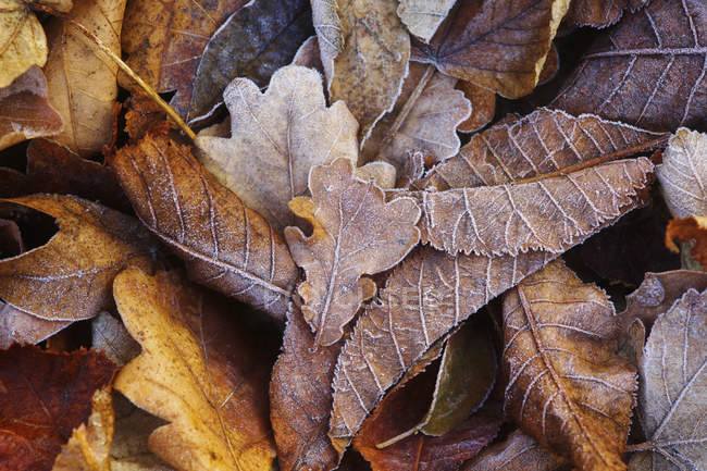 View of Autumn leaves in winter — Stock Photo