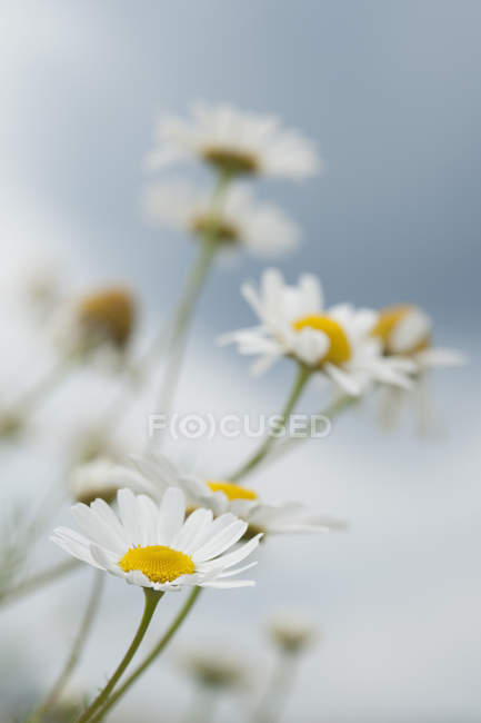 View of Chamomile flowers during daytime, close up — Stock Photo