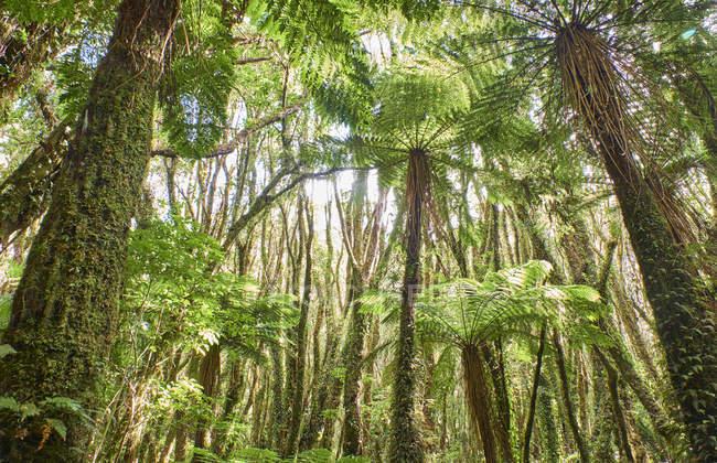 Новая Зеландия, Саут-Айленд, Национальный парк Вестленд, тропический лес — стоковое фото