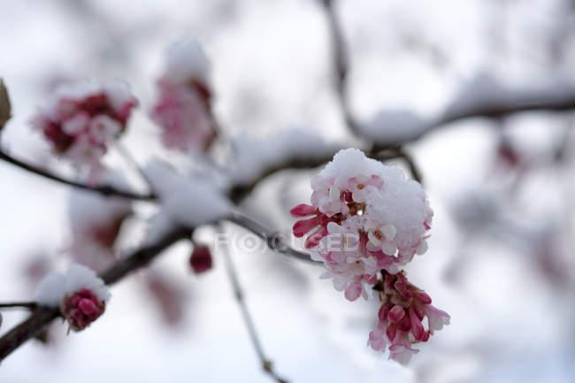 Заснеженный цветущий снежок, крупным планом — стоковое фото