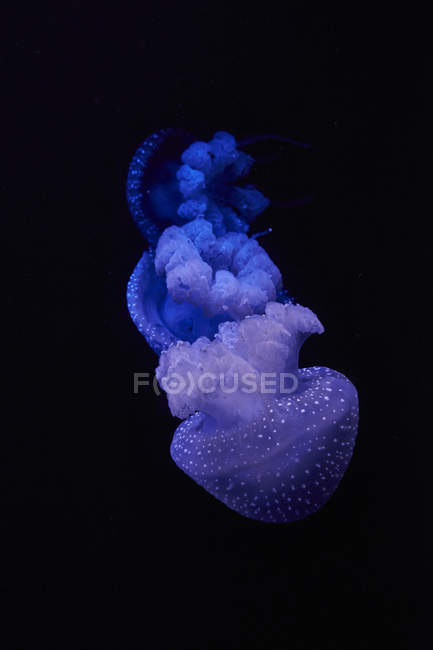 Blue shining jellyfish in front of black background — Stock Photo