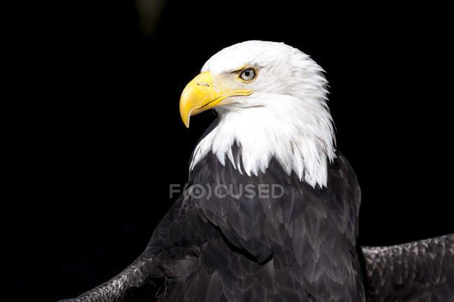 Retrato de águila calva sobre fondo negro - foto de stock