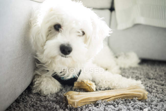 Portrait of Maltese dog lying on carpet with bone — Stock Photo