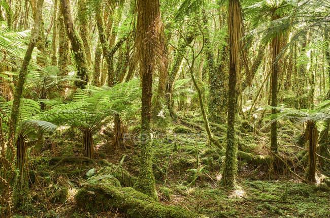 Нова Зеландія, Південний острів, Національний парк Вестленд, тропічний ліс — стокове фото