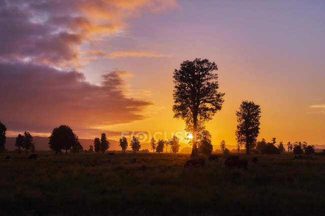 Новая Зеландия, Южный остров, Национальный парк Уэстленд, коровы на лугу на закате — стоковое фото