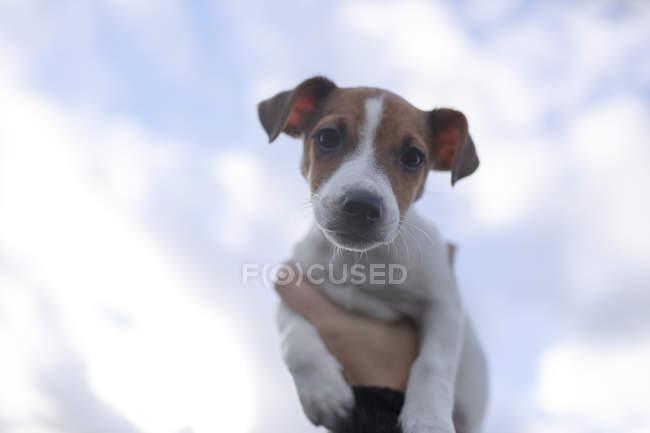 Ritratto di Jack Russel Terrier cucciolo contro il cielo — Foto stock