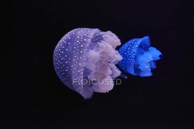Blue and purple shining jellyfishes in front of black background — Photo de stock