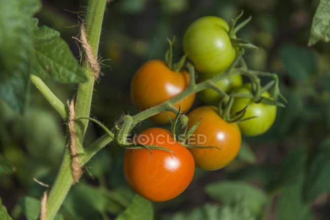 Tomates que crecen en la planta de tomate - foto de stock