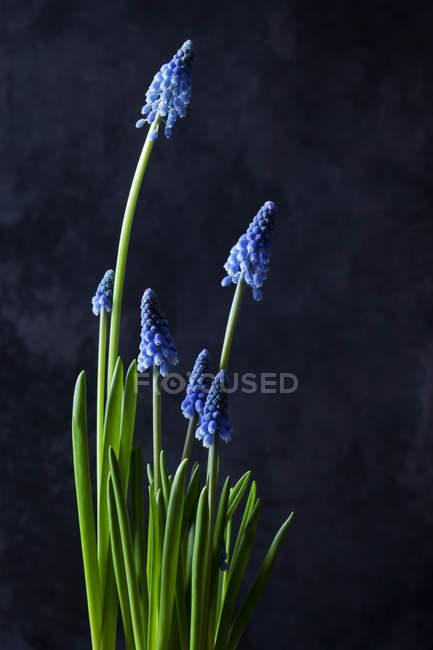 Grape hyacinths on dark background — Stock Photo