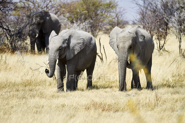 African elephants walking in Africa, Namibia, Etosha National Park, — Stock Photo