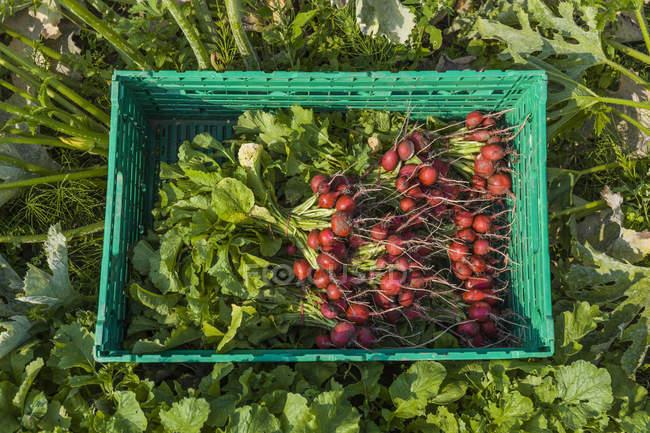 Rábano rojo cosechado en una caja - foto de stock