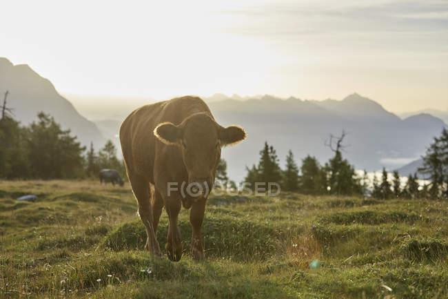 Австрия, Тироль, Миминг плато, корова на альпийском лугу на восходе солнца — стоковое фото