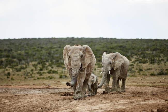 Sudáfrica, Oriental, Cabo, Parque Nacional del Elefante Addo, elefantes africanos, Loxodonta Africana - foto de stock