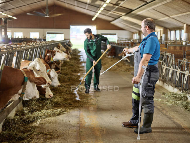 Bauer auf Krücken führt Mann, der Kühe im Stall auf einem Bauernhof füttert — Stockfoto