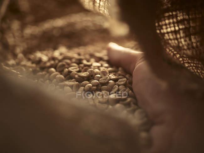 Mano dell'uomo a controllare il caffè verde in borsa Gunny, primo piano — Foto stock