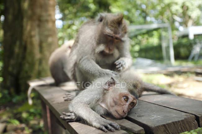Indonésie, Bali, Forêt de Singes Sacrés, macaques à longue queue — Photo de stock