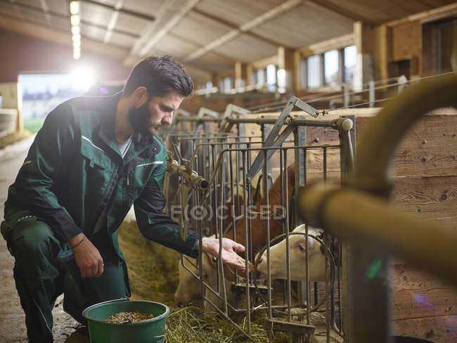 Фермер годування теля в стабільному на фермі — стокове фото