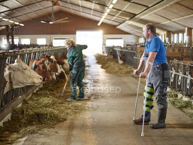 Фермер на милицях спостерігаючи за жінкою годування корів в стійку на фермі — стокове фото