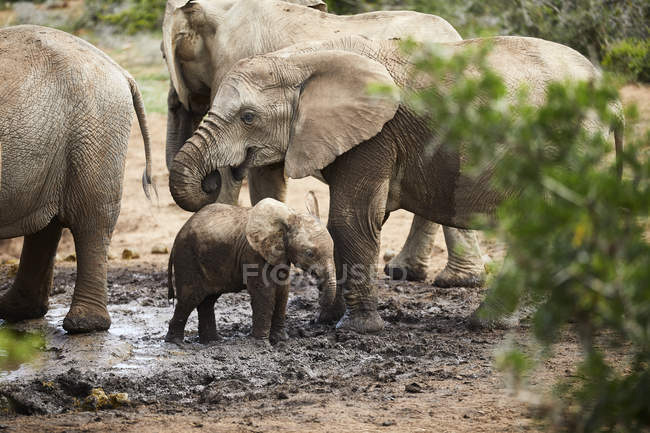 Sudafrica, Eastern, Cape, Addo Elephant National Park, elefanti africani, Loxodonta Africana — Foto stock