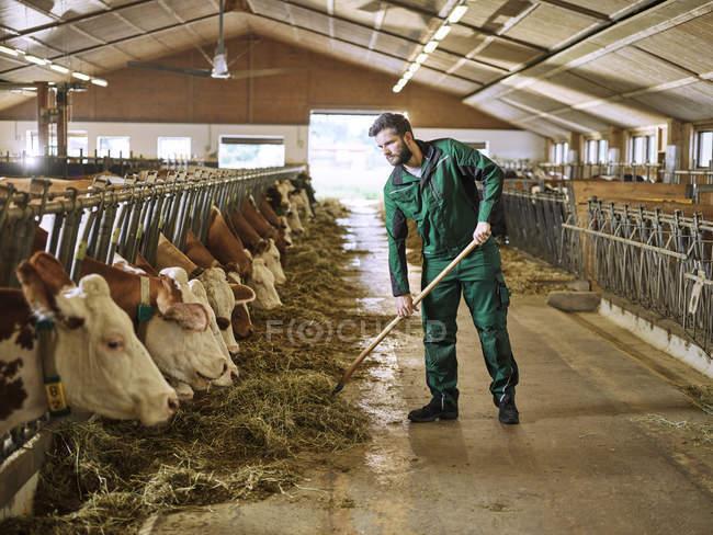 Фермер годування корів в стійку на фермі — стокове фото