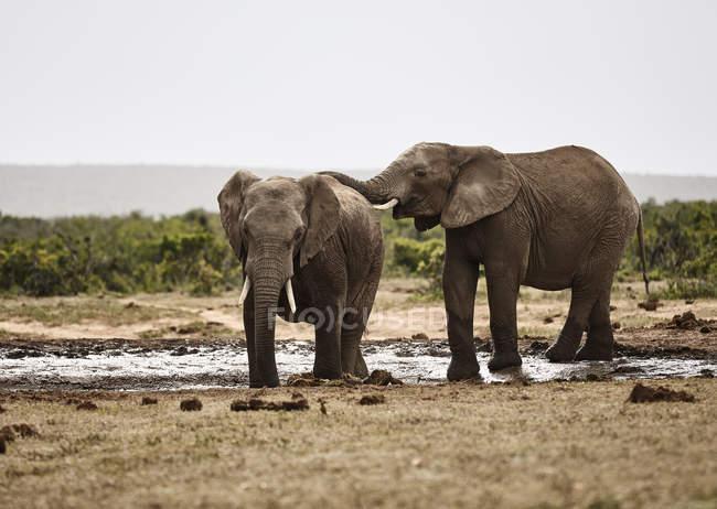 Южная Африка, Eastern, Cape, Addo Elephant National Park, African elphants, Loxodonta Fucana — стоковое фото