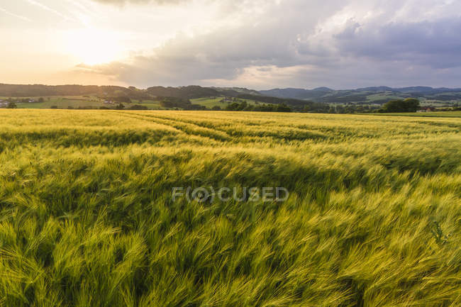 Austria, Upper Austria, Muehlviertel, grain field at evening twilight — Stock Photo