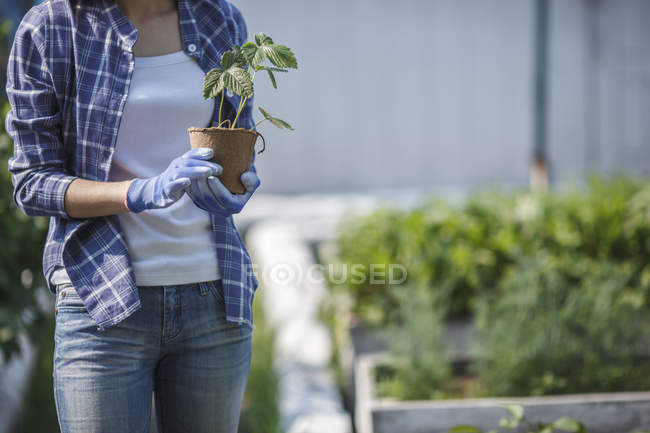 Young woman planting strawberry plant in garden — Stock Photo