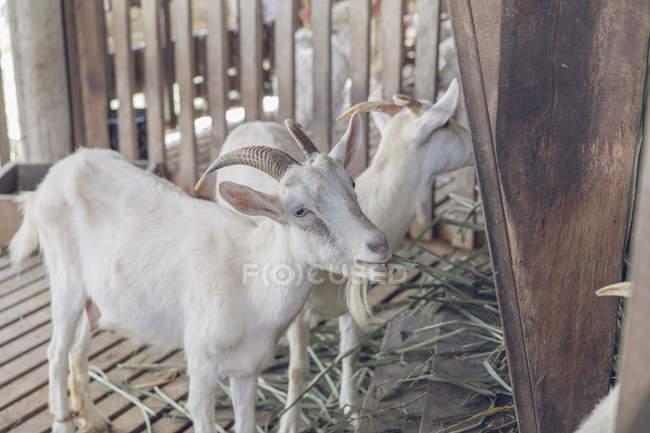 Два білих кіз в стабільній — стокове фото
