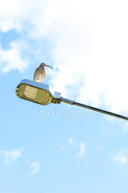 Галлинаго птица сидит на уличном свете в дневное время — стоковое фото
