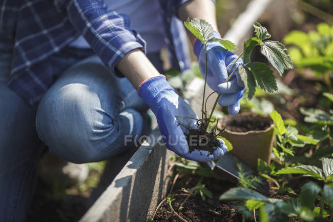 Молодая женщина сажает клубнику в саду — стоковое фото