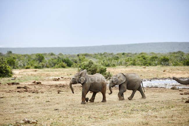 Afrique du Sud, Afrique orientale, Cap, Addo Elephant National Park, éléphants d'Afrique, Loxodonta Africana — Photo de stock