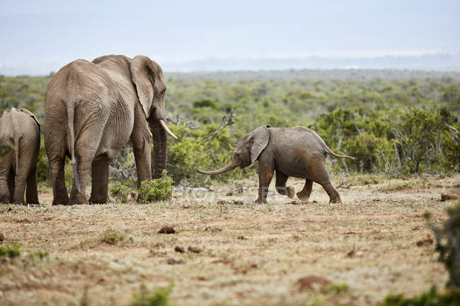 South Africa, Eastern, Cape, Addo Elephant National Park, african elephants, Loxodonta Africana — Stock Photo