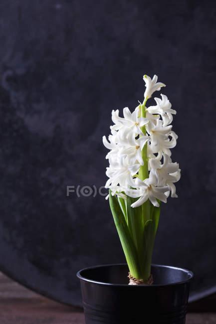 Primo piano di giacinto bianco in vaso — Foto stock