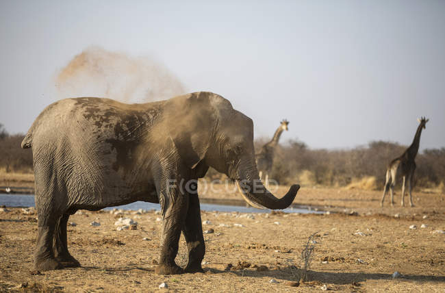 African elephant taking dust bath in Africa, Namibia, Etosha National Park — Stock Photo